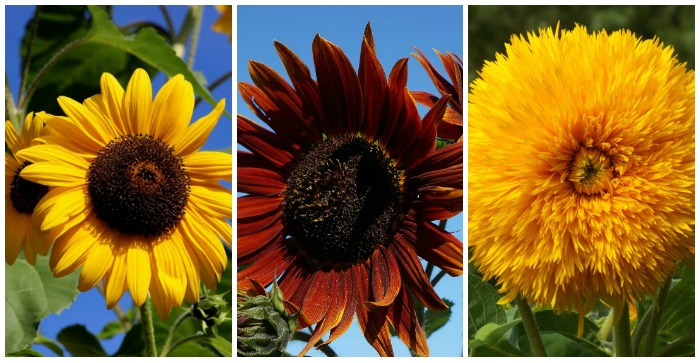 growing sunflowers - how to grow and care for sunflower plants