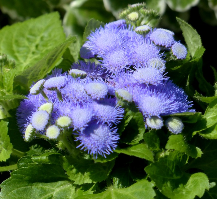 Ageratum is great for repelling mosquitoes