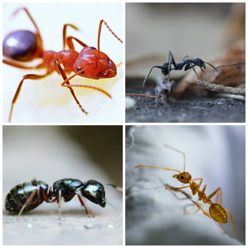 There are many types of ants