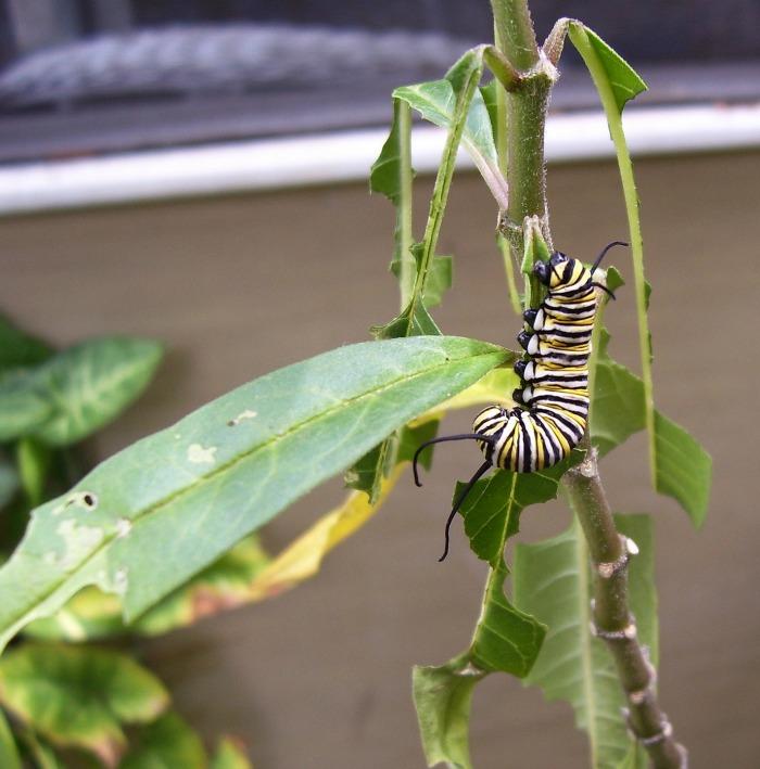 Monarch caterpillar eating a milkweed leaf