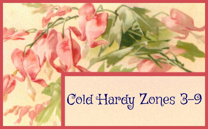 Bleeding Heart is cold hardy in zones 3-9