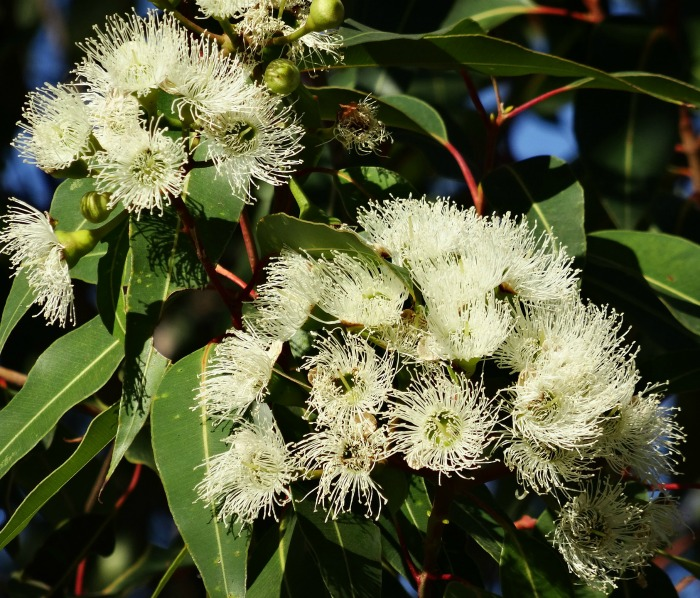 Eucalyptus leaves have essential oils that repel mosquitoes