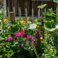 Perennial flowers in a cottage garden setting