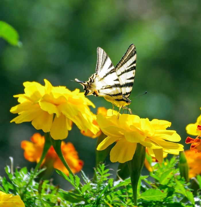 Butterflies love marigolds but mosquitoes don't.