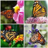 Colorful Monarch Butterflies