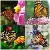 Colorful Monarch Butterflies