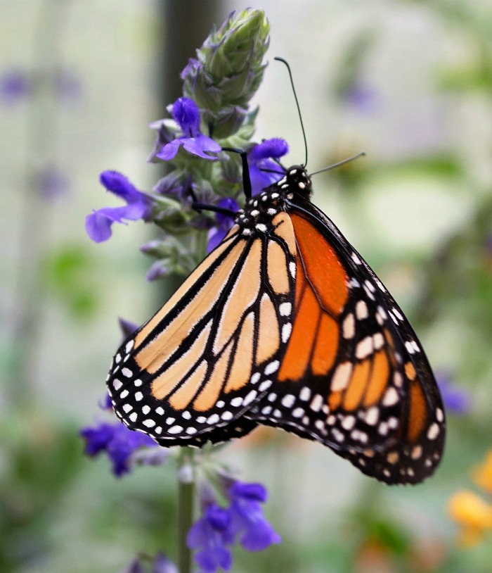 The colors of a monarch butterfly are very striking
