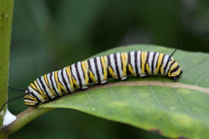 Monarch caterpillars need milkweed to live
