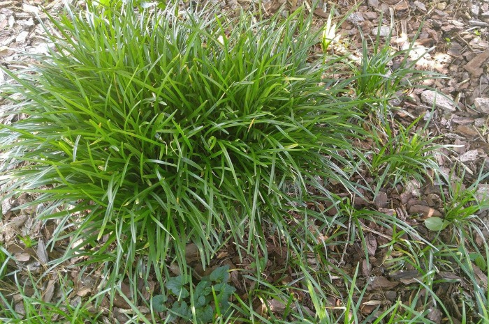 How to plant monkey grass babies