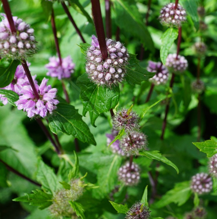 Pennyroyal is known as a mosquito repellent plant