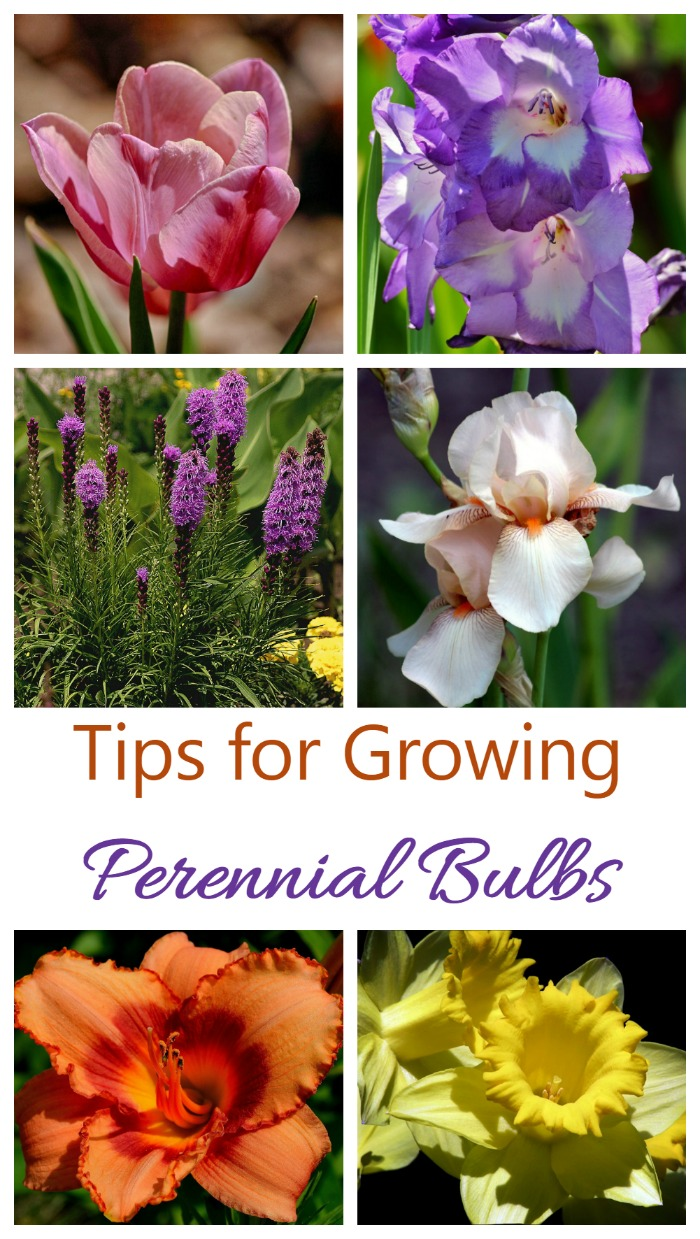 Perennial bulbs will give you early and sometimes all season splashes of color year after year.