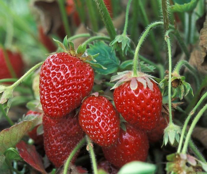 cascading strawberry flowers