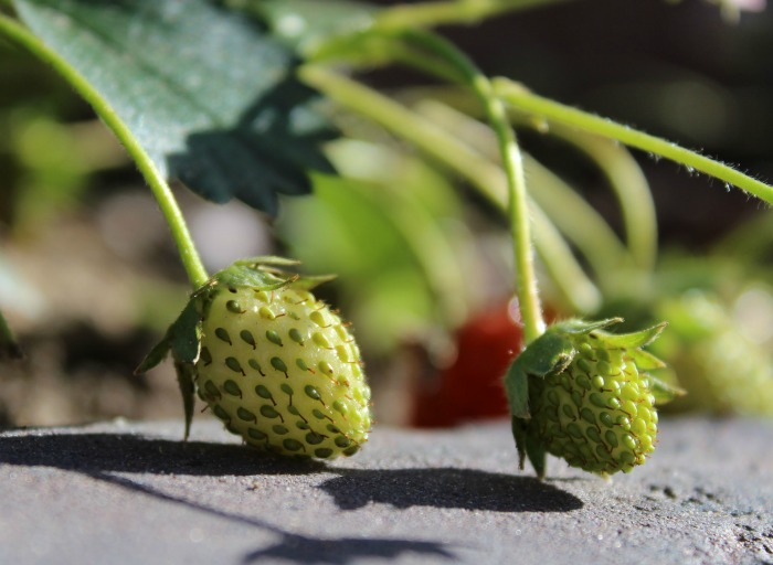 seeds on the outside of strawberries