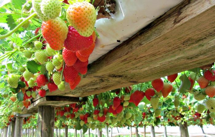 cascading strawberry planters