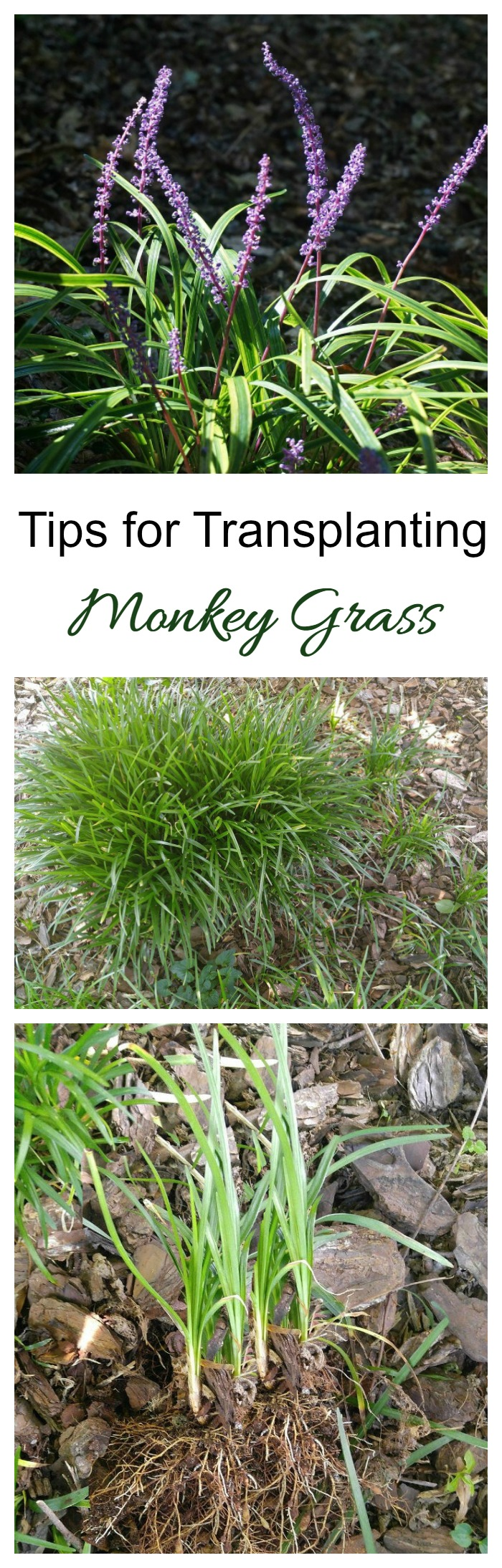 Transplanting monkey grass liriope division the for Care for new sod