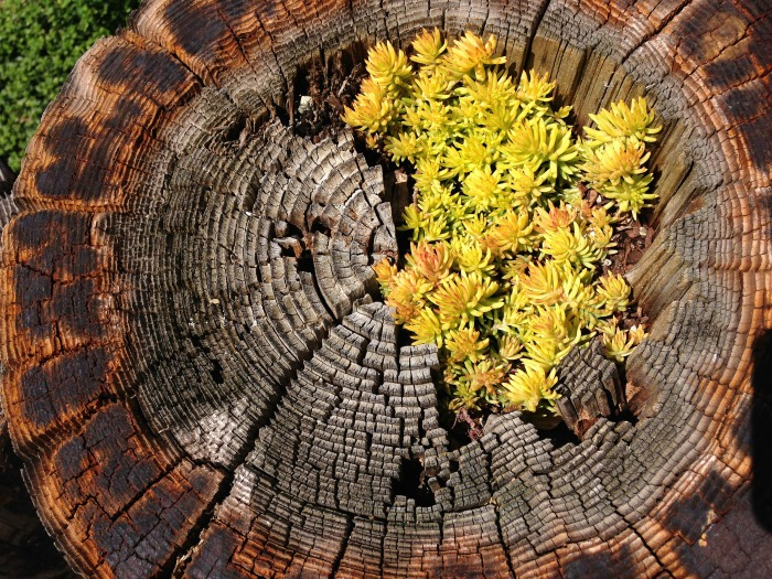 Tree stump Succulent planter