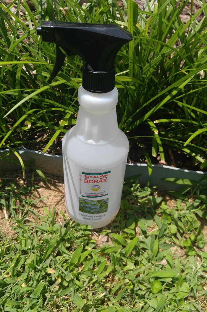 Borax weed killer for creeping Charlie in lawns