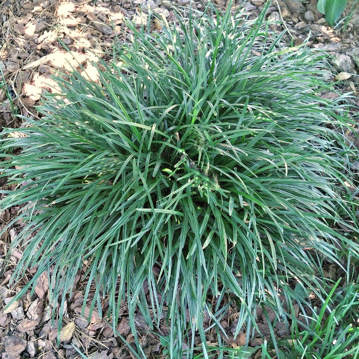 Liriope - Monkey Grass can be used as a focal plant , border plant or ground cover.