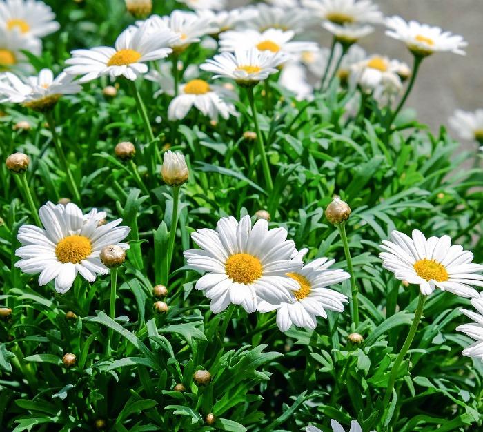 Daisies are April birthflower