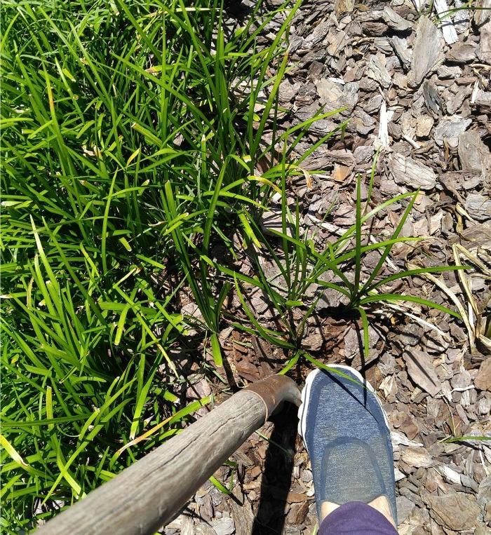 Digging Monkey Grass