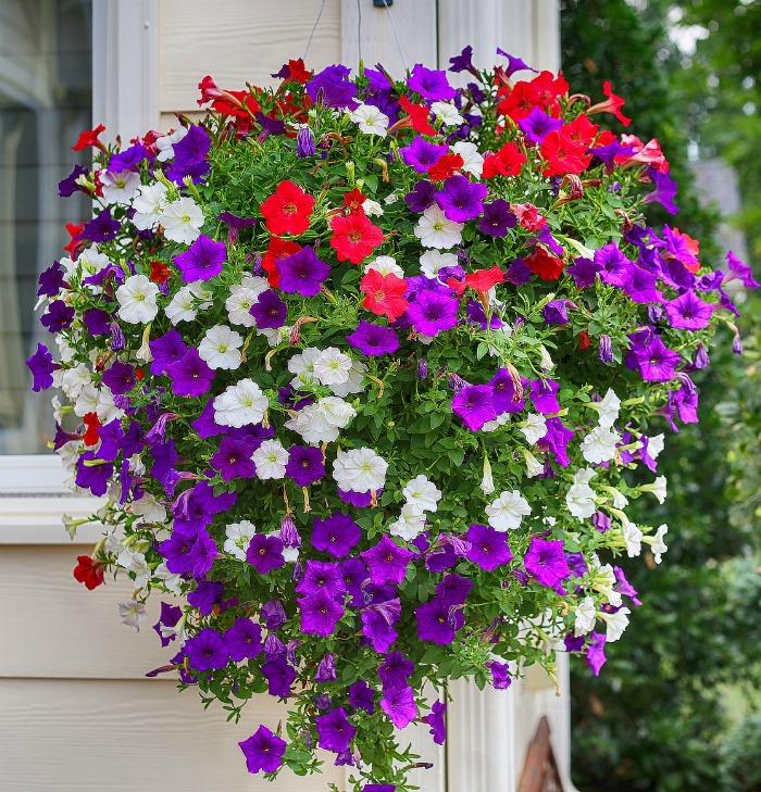 Hanging basket with petunias