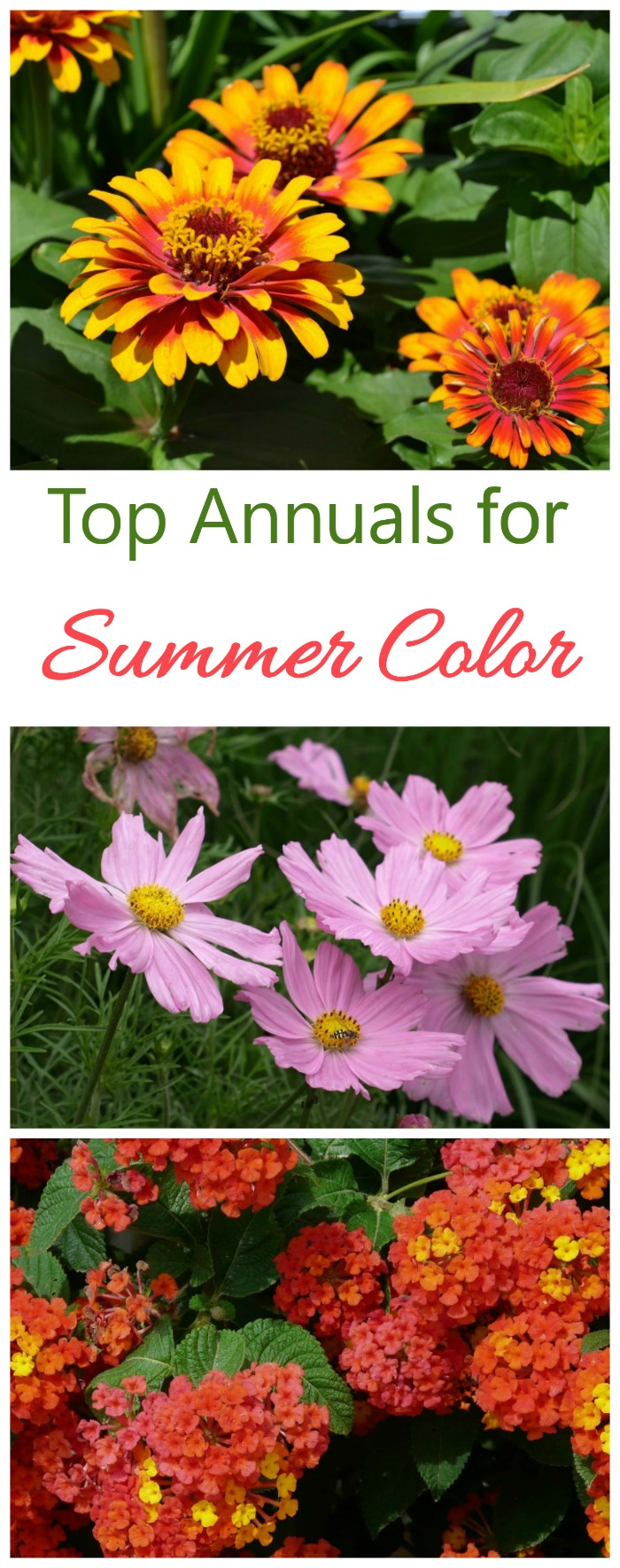 Grow these popular annuals for long lasting summer color