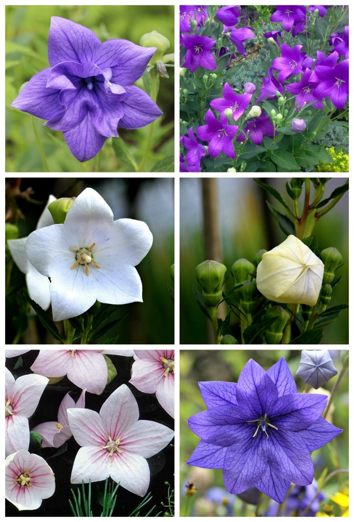 Balloon flowers come in blue, purple, pink and white and in both double and single varieties