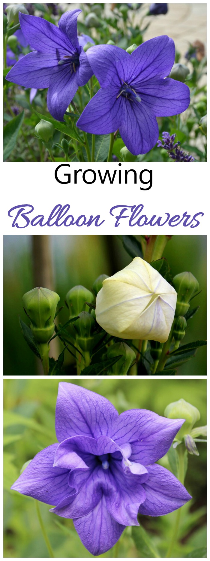 Platycodon grandiflorus is also known as Balloon flower or Chinese Bell Flower. It is easy to grow and deer resistant.