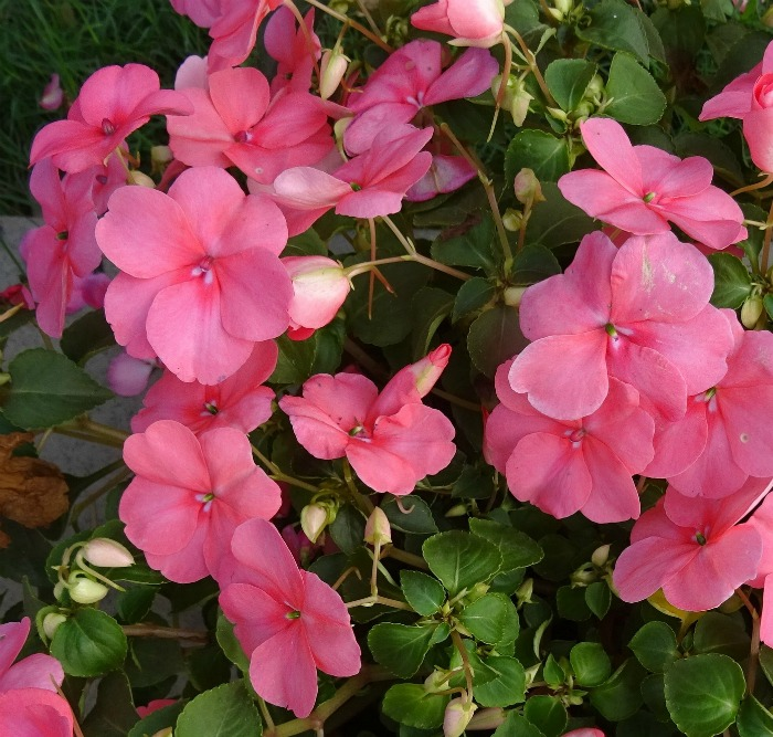 Impatiens are self cleaning