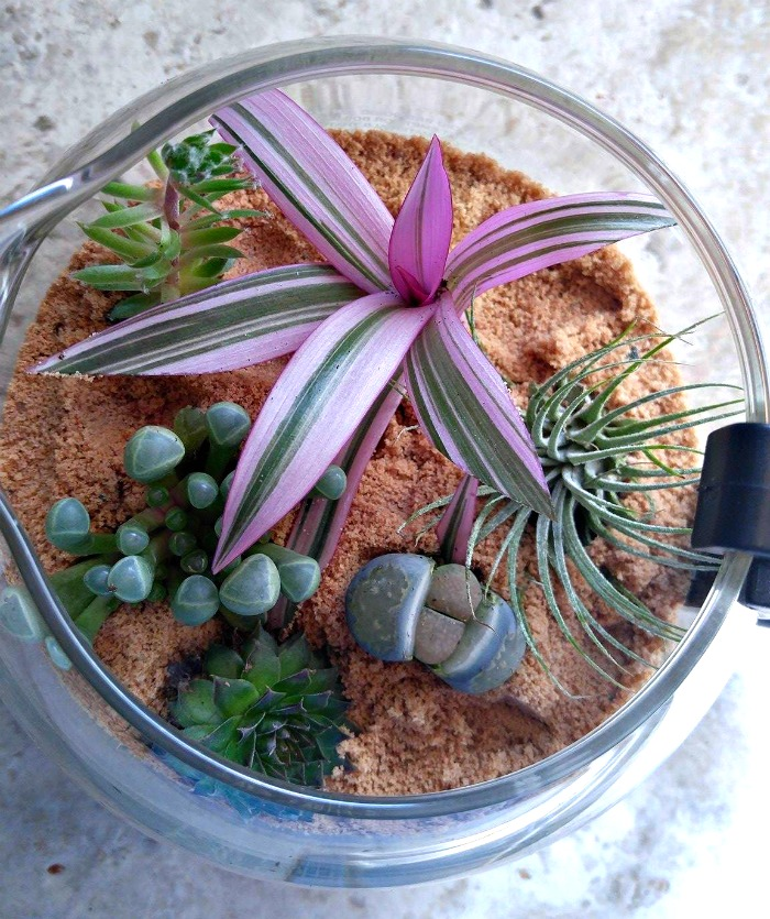 Coffee pot terrarium for air plant and succulents