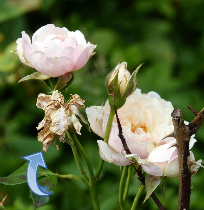 Roses need a lot of deadheadhing
