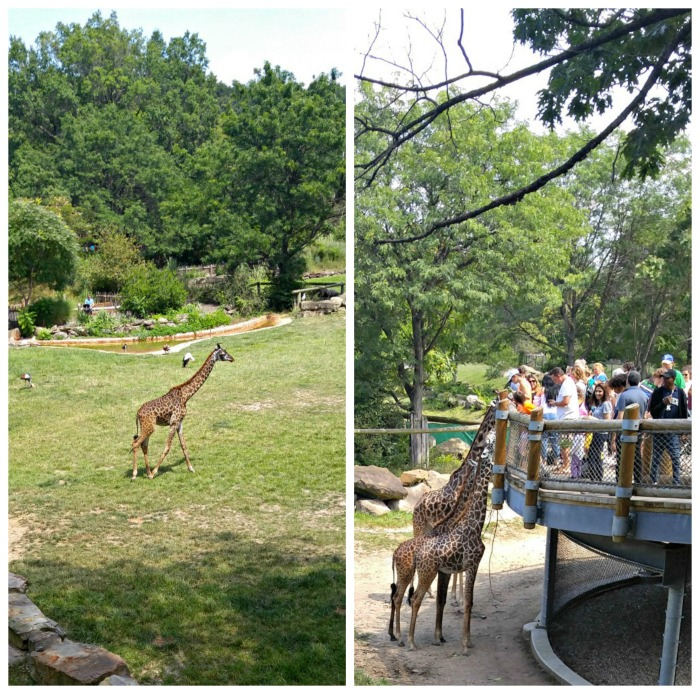 Giraffe Exhibit at the Cleveland Zoo