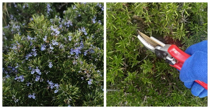 Pruning Rosemary How And When To Prune Rosemary Plants