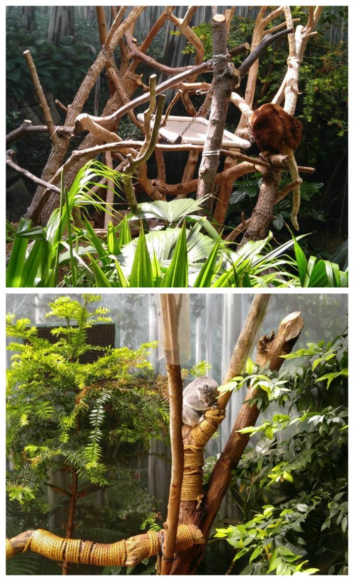 Koala and tree kangaroo in the rainf orest exhibit of the Cleveland Zoo
