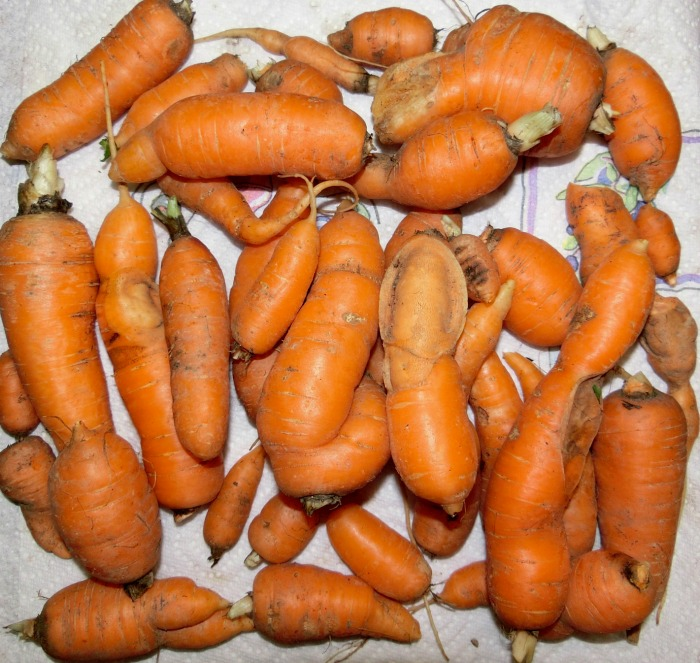 Misshapen carrots are caused by obstructions in the soil or lack of thinning.