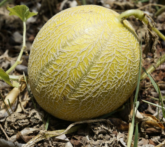 Growing Melons How To Grow Cantaloupe Honey Dew