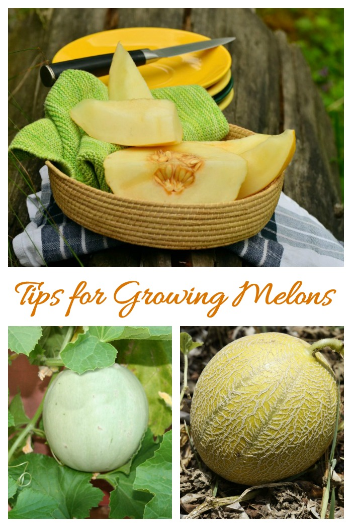 This tips for growing melons will show you how to plant, grow and harvest melons like cantaloupes and honeydew melons