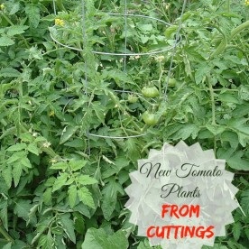 It is so easy to get new tomato plants from cuttings.