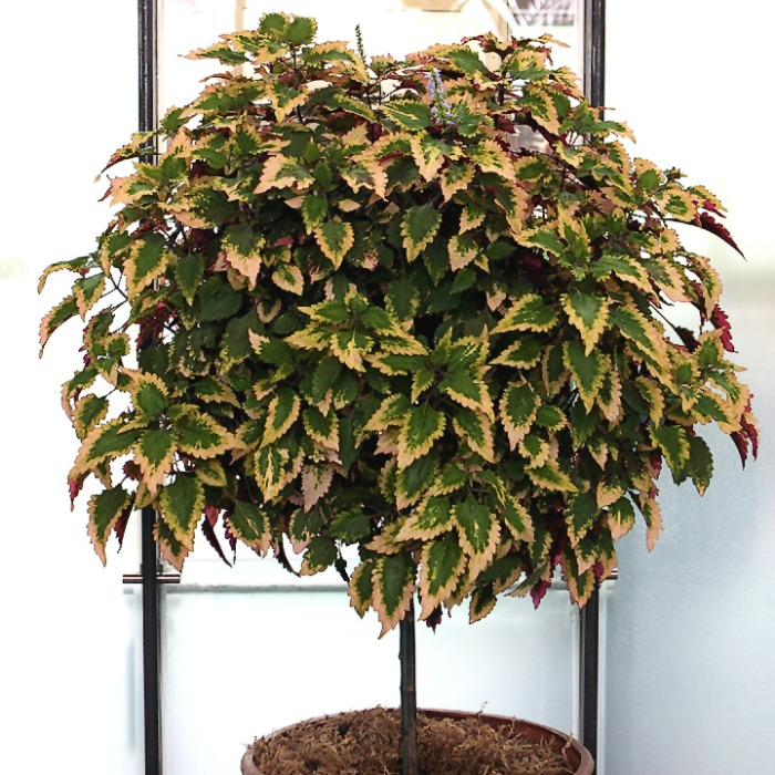 Coleus can be trained to grow into a tree shape.