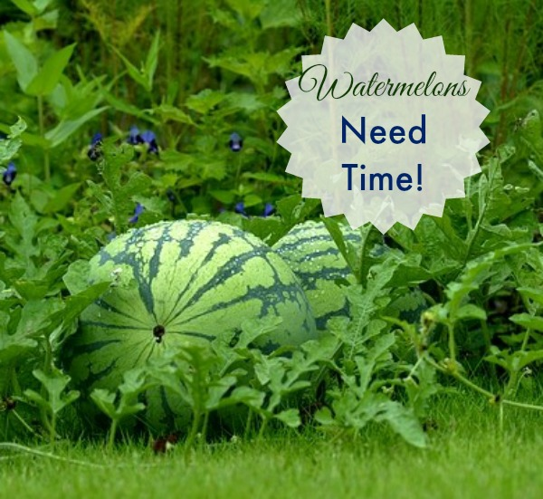 Growing Watermelons need time to mature. You have to be patient with this fruit