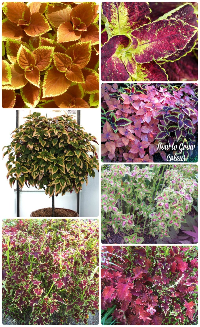Coleus is such an amazing plant. It does flower but the leaves are what make it such a showpiece. The variety of leaf shape and colors is just amazing. You can even train it to grow into a tree shape! thegardeningcook.com