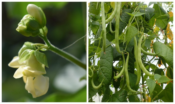 Growing green beans from seed. Beans flower right before setting fruit. This takes 55-70 days depending on type