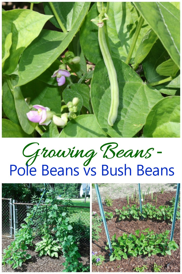 Growing beans is easy for even beginning gardeners. Find out the differences between pole beans vs bush beans