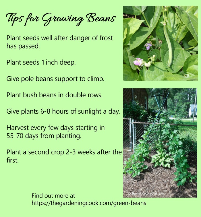 green beans growing