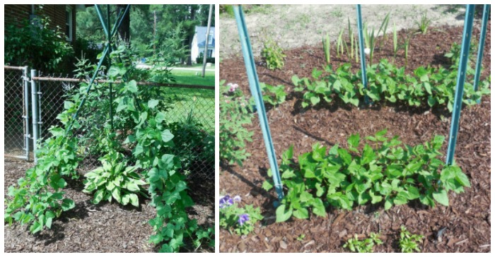 Pole beans on a teepee and bush beans in rows in a garden.