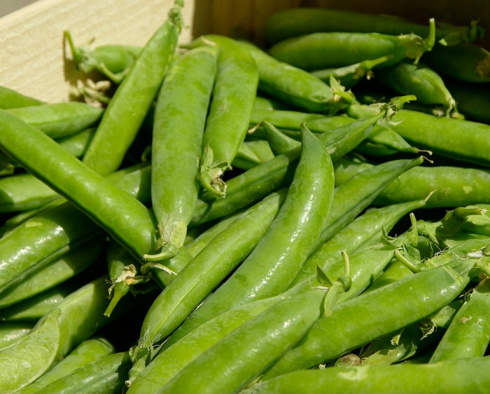 Garden peas are plump and sweet