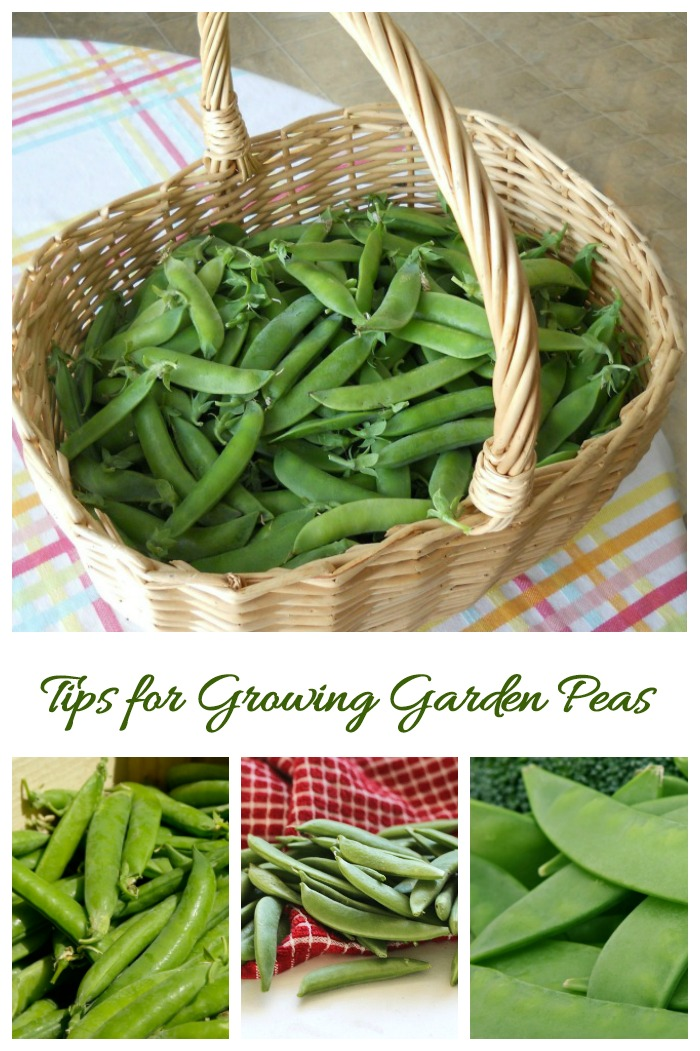 These tips for growing garden peas will give you a bumper crop every year.