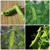 types of peas
