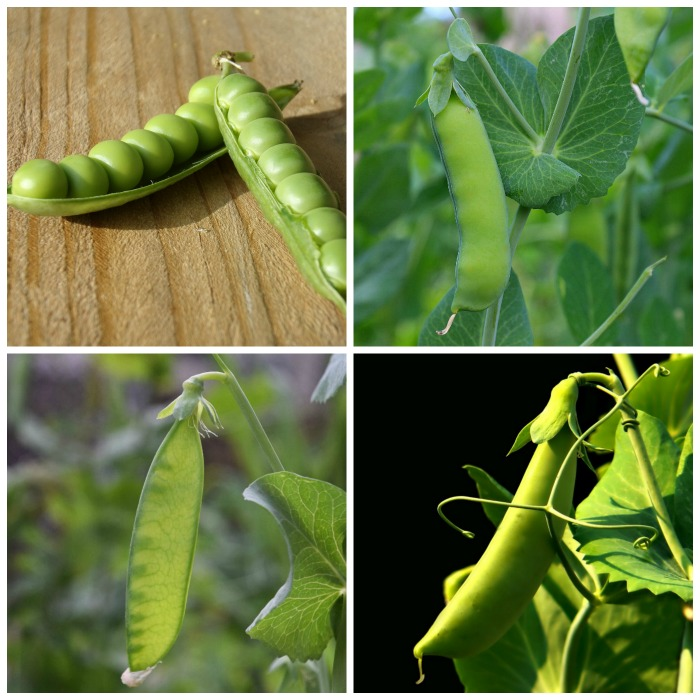types of peas