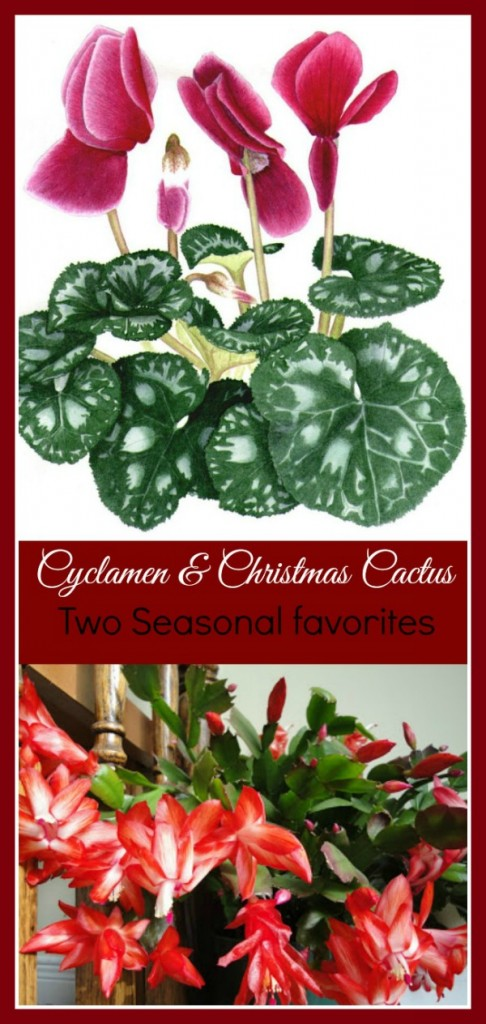 Cyclamens and Christmas Cactus are two of the most common season holiday plants